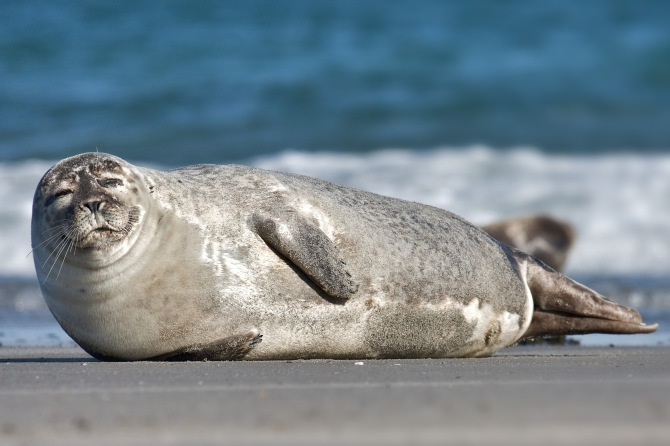 Common_Seal_Phoca_vitulina.jpg